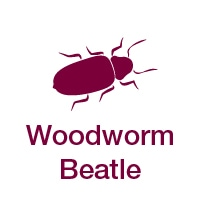 Woodworm Beatle